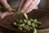 Opening Fava Bean