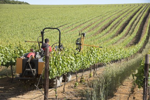 Tractor with trimming equipment cutting tops of vines in Springtime Western Cape South Africa
