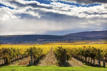 Yellow Leaves Grapes Fall Vineyards Red Mountain Benton City Washington