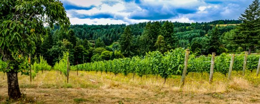Beckham Estate Vineyard Panorama