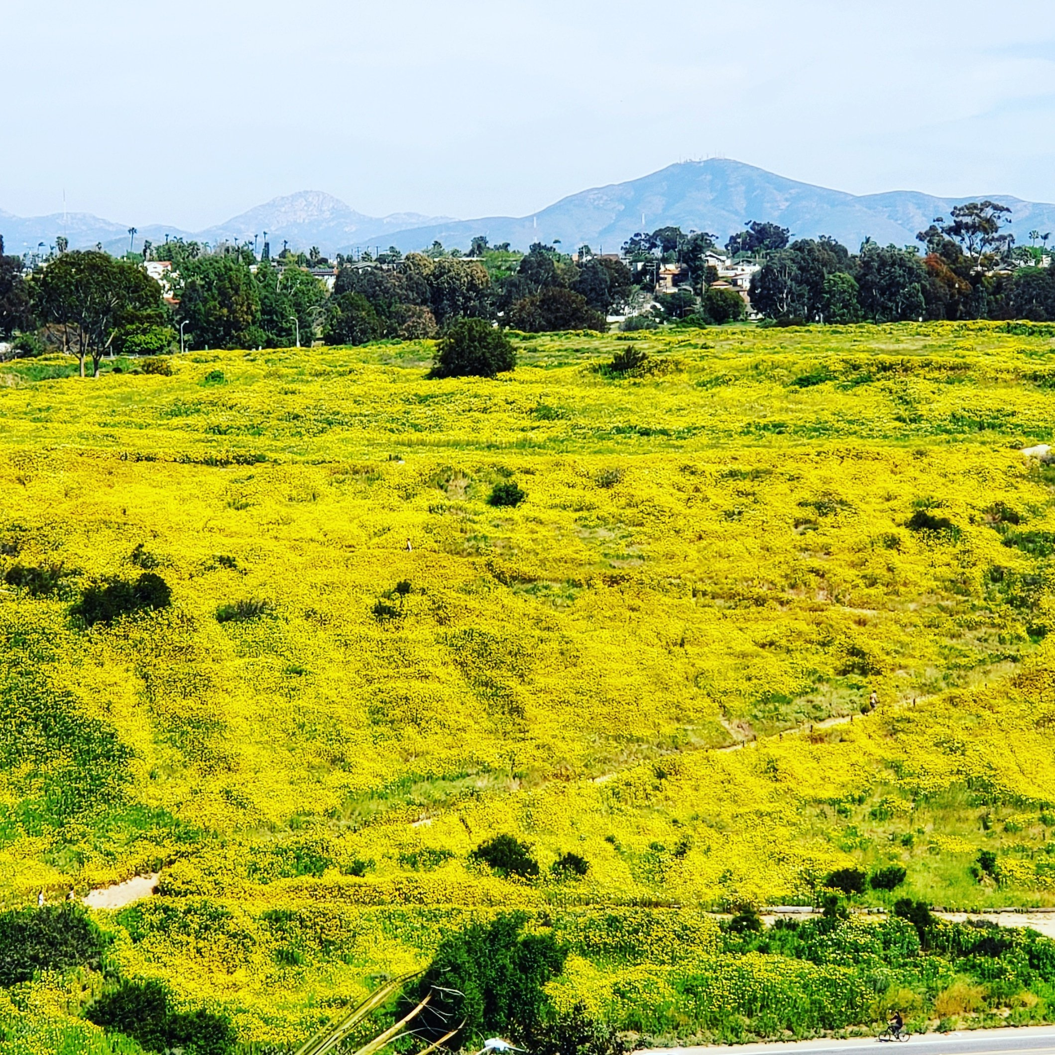 Fields of Golden Flowers in San Diego in Spring