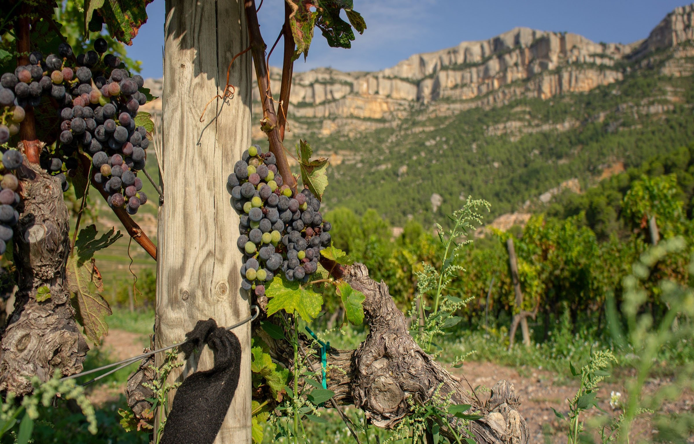 Grapes and vines in Priorate Spain with Montsant Mountains