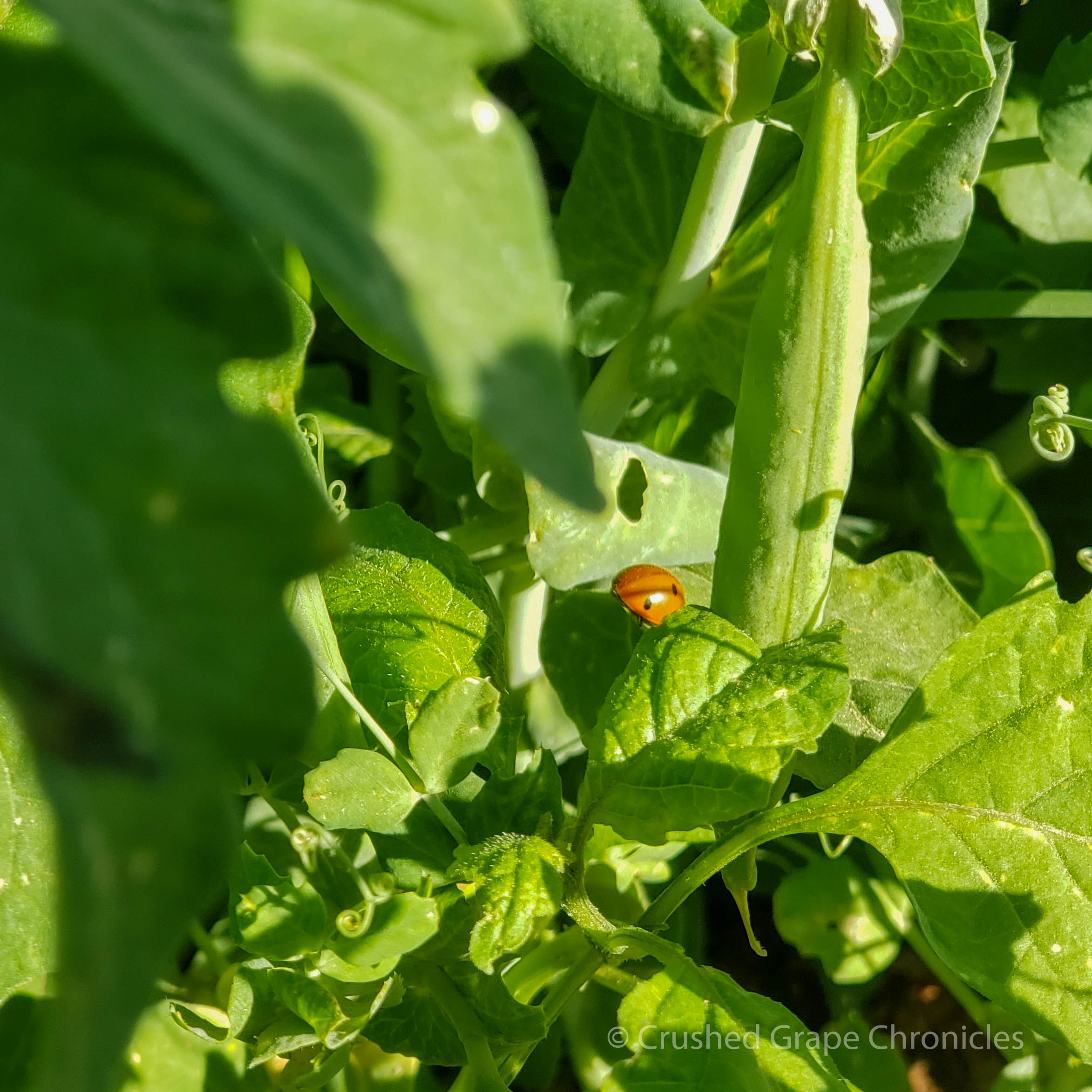 Lady bug in the peas at Gilcrease Farm in Las Vegas.