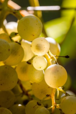 Golden Glera berries for Prosecco Vendemmia Val D'Oca 2019 - 008 - Photo ©Mattia Mionetto courtesy Val DOca