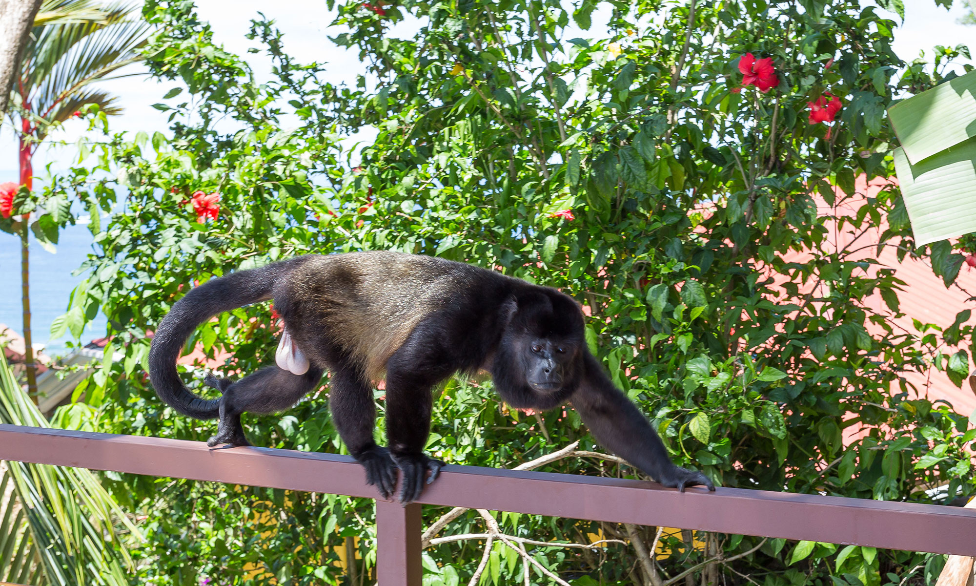 Villa Natura howler monkey visitor