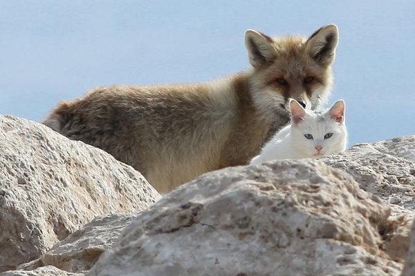 Cat-and-fox-are-best-friends-in-Van-Lake-Turkey-2