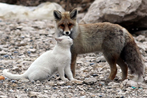 Cat-and-fox-are-best-friends-in-Van-Lake-Turkey-9