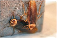 Larger insects, such as these American cockroaches, may require 2 treatments with Cryonite to be effective.