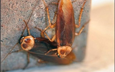 Cockroaches and The Cockroach Lifecycle