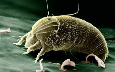Dust Mites vs Bed Bugs