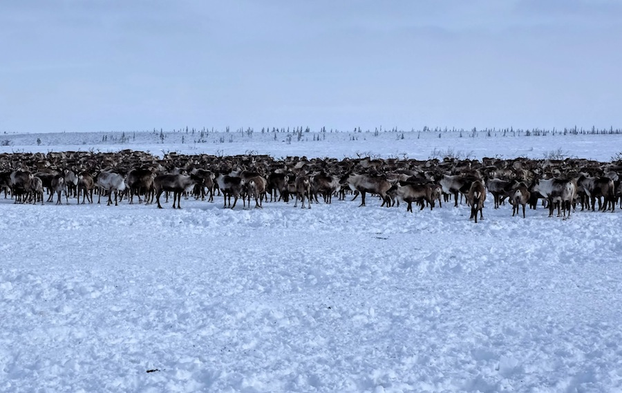 Caribou in the Inuvialuit Settlement Region.