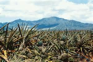 Helemano, Oahu Hawaii, pineapple