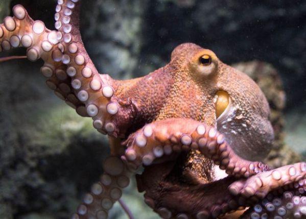 Кальмары,осьминоги - Новости криптозоологии