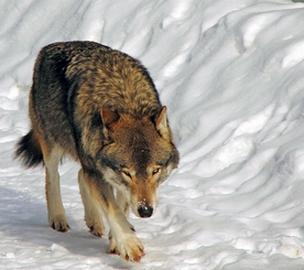un loup identifié en Charente-Maritime (Image d'illustration)