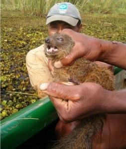 Mangouste de Madagascar 2010