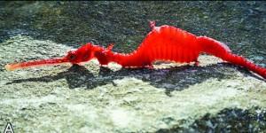 Dragon des mers rubis