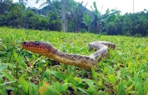 serpent le plus rare du monde