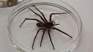 califorctenus-cacachilensis-araignee-mexique_5869109