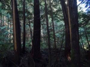 Dégats sur arbres