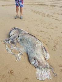 un-enorme-poisson-inconnu-sechoue-sur-les-plages-australiennes-2018-03-09