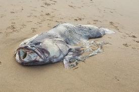 un-enorme-poisson-inconnu-sechoue-sur-les-plages-australiennes-2018-03-09_21-05-14_892999