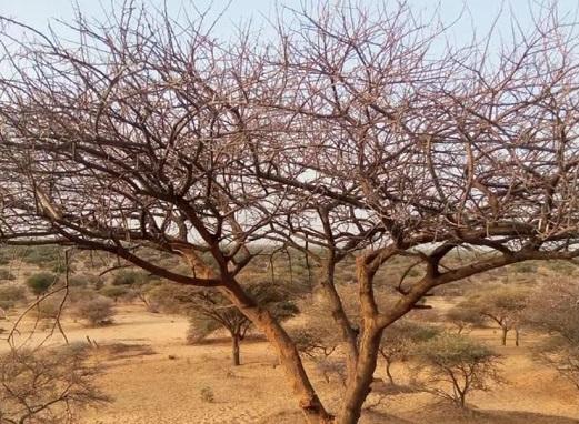 Plant d'Acacia radiana qui a complètement perdu ses feuilles après les attaques des chenilles