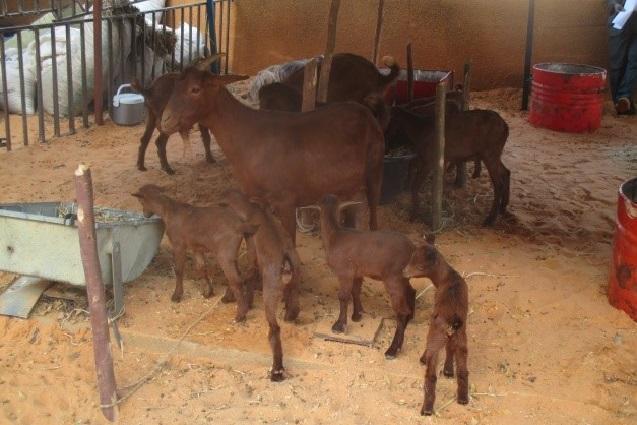 Chevre Rousse de Maradi et ses quatre petits