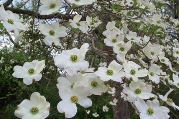 The dogwood branch is bursting with many white blossoms, four petals each, with green centers of mini buds. Tinged on each white petal is a little bit of purple.