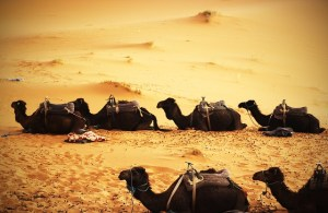 Camels can take the heat and wind.