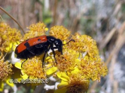 Mylabris quadripunctata-Bio-codep21-2010