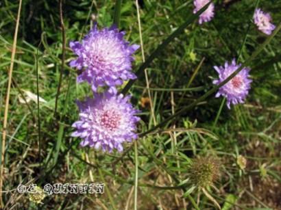 Scabiosa columbaria-Bio-codep21-2010