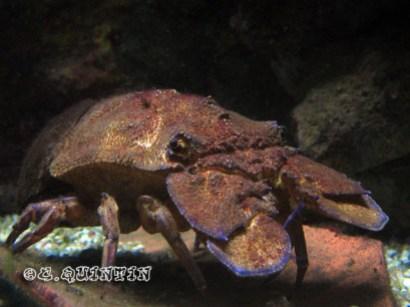 Scyllarides arctus-Bio-codep21-2010