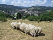 Ovce na Homolce (fofo J. Hromas)