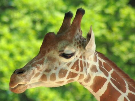 giraffe-537132_1280