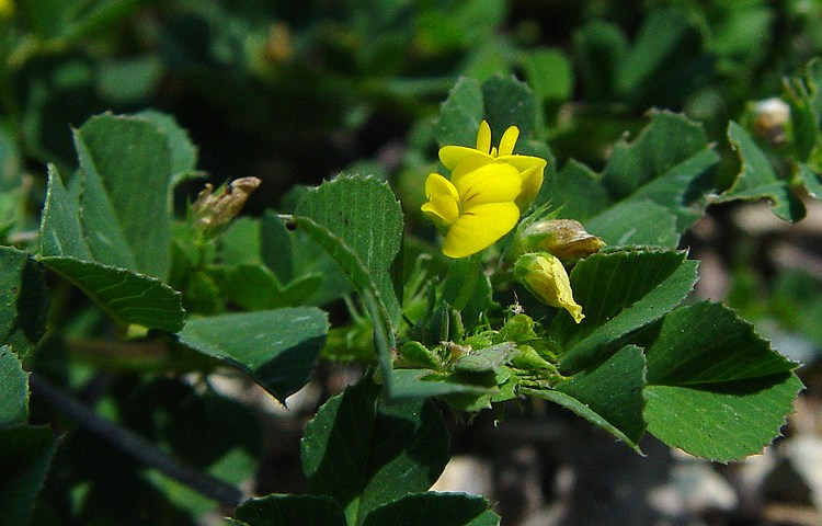 Medicago polymorpha (Carol Witham, via CalPhotos)