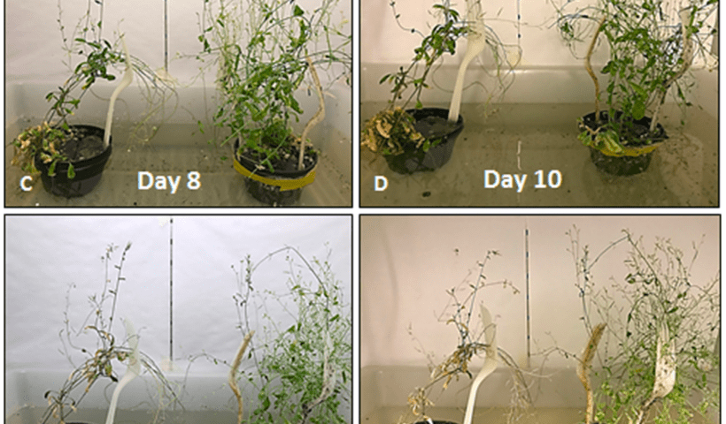 Un-engineered Arabidopsis (left) and Arabidopsis engineered to over-express ACC oxidase (right) in flooded conditions in a climate-controlled growth chamber, compared over time since their roots were submerged in water.