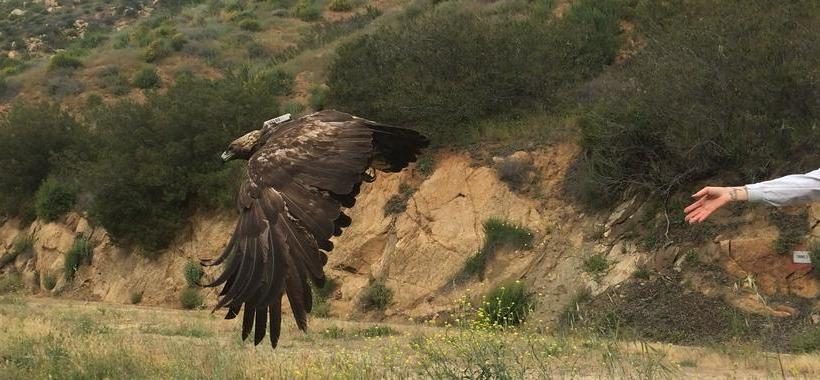 A golden eagle released with a tracking device (USGS)