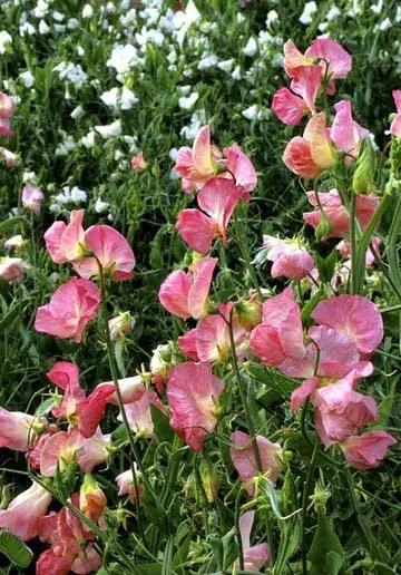 fleurs roses la liste des 30 plus