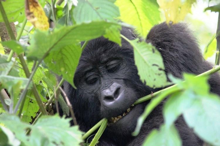 gorilla met takje in mond