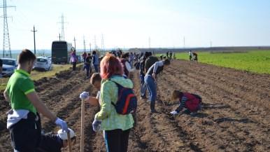 14 brazde trase pentru plantatori. FOTO Adrian Boioglu