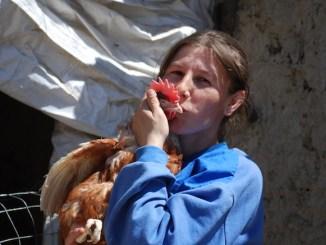 Găini ouătoare pentru familiile din Dobrogea