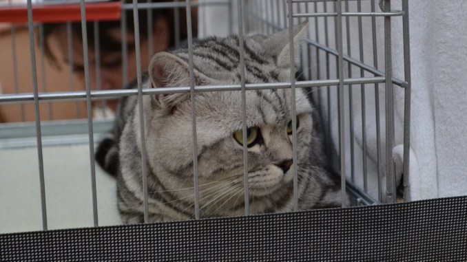 Expoziție de pisici la Maritimo. FOTO Adrian Boioglu