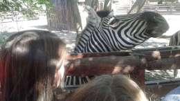 Zebra de la Microrezervația Constanța