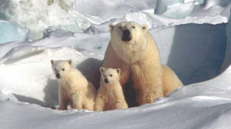 Urși polari. FOTO CMSN