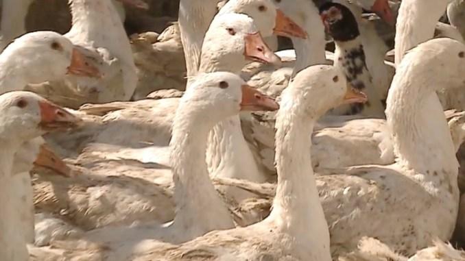 Fermă de păsări la Ovidiu. FOTO Captură Video
