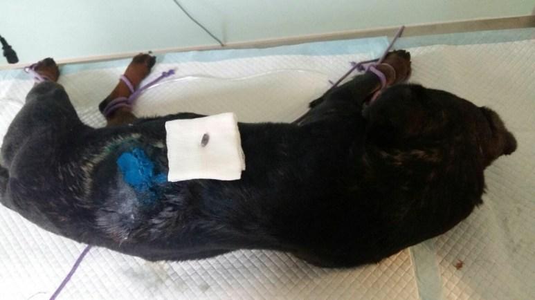 În câinele împușcat la Mihail Kogălniceanu s-a tras cu armă cu glonț. FOTO CTnews.ro