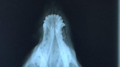 Pe radiografii se pote vedea corpuri străine în craniul câinelui, reziduri de la proiectilul cu care s-a tras. FOTO dr. Leica Laurențiu, VetZone