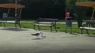 Pescărușul a văzut o oportunitate și a vrut să mănânce șarpele. FOTO Captură video