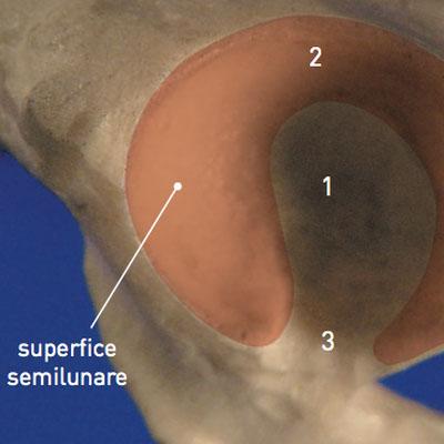 Cavità acetabolare sinistra di cane, vista laterale
