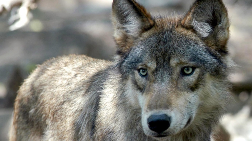 Conservationists criticize Quebec plan to protect caribou by killing wolves